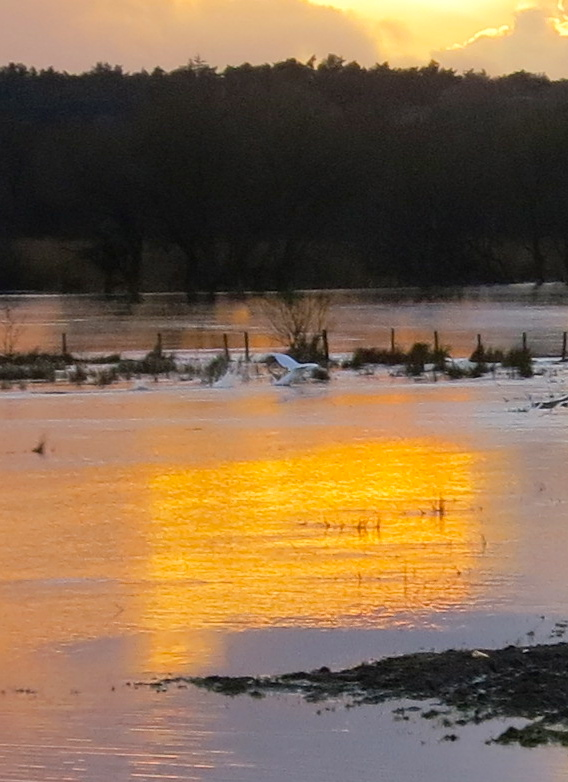 Swan in sunset