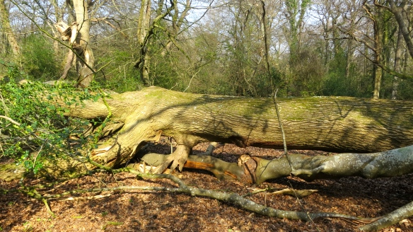 Fallen tree blocking path