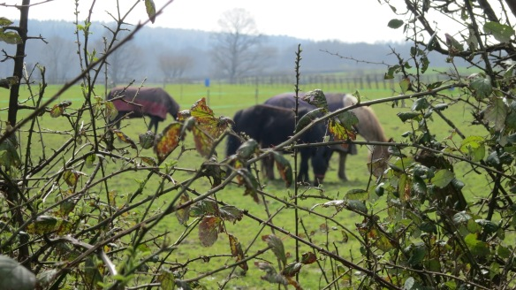 Horses through hedge