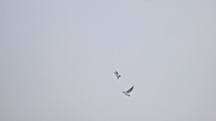 Seagulls squabbling in the air