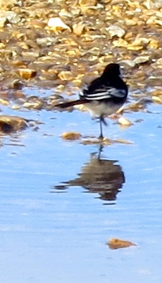 Wagtail & reflection