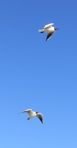 Black headed gulls - two