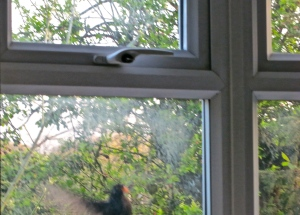 Blackbird at window