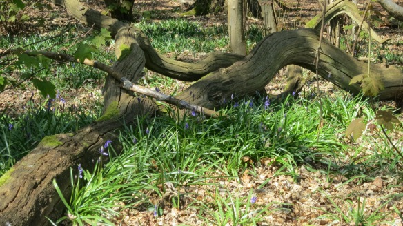 Bluebells and fallen tree