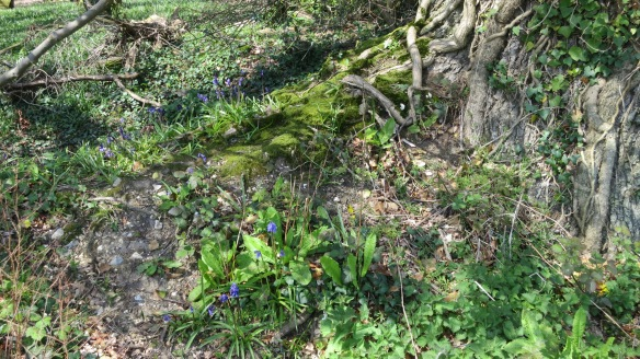 Bluebells and tree roots