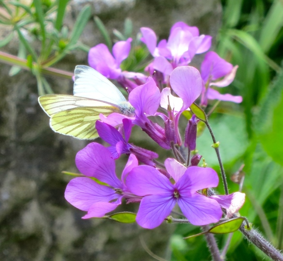 Cabbage white butterfly on honesty