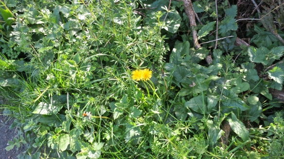 Dandelion, lady's bedstraw and nettles
