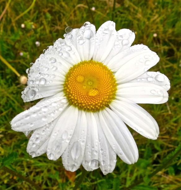 Moon daisy with raindrops