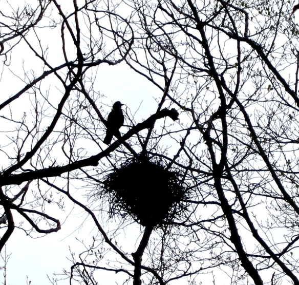 Rook over nest