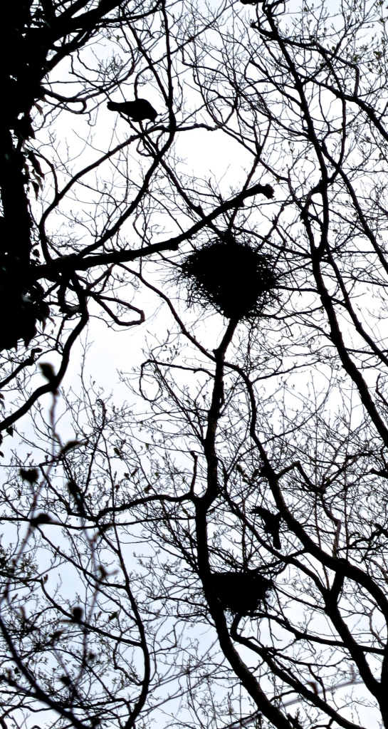 Rooks and nests