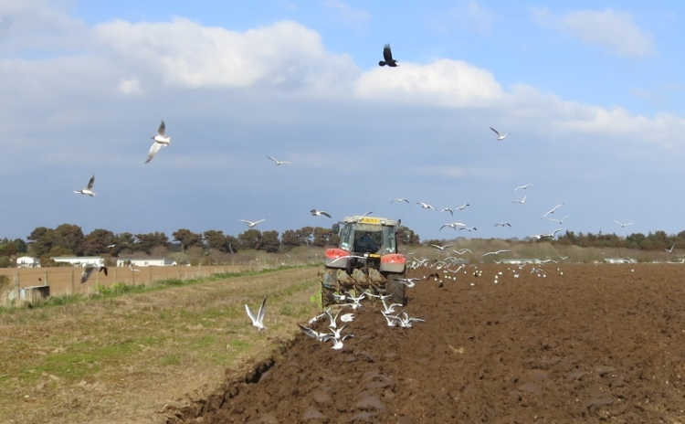 Seagulls following tractor