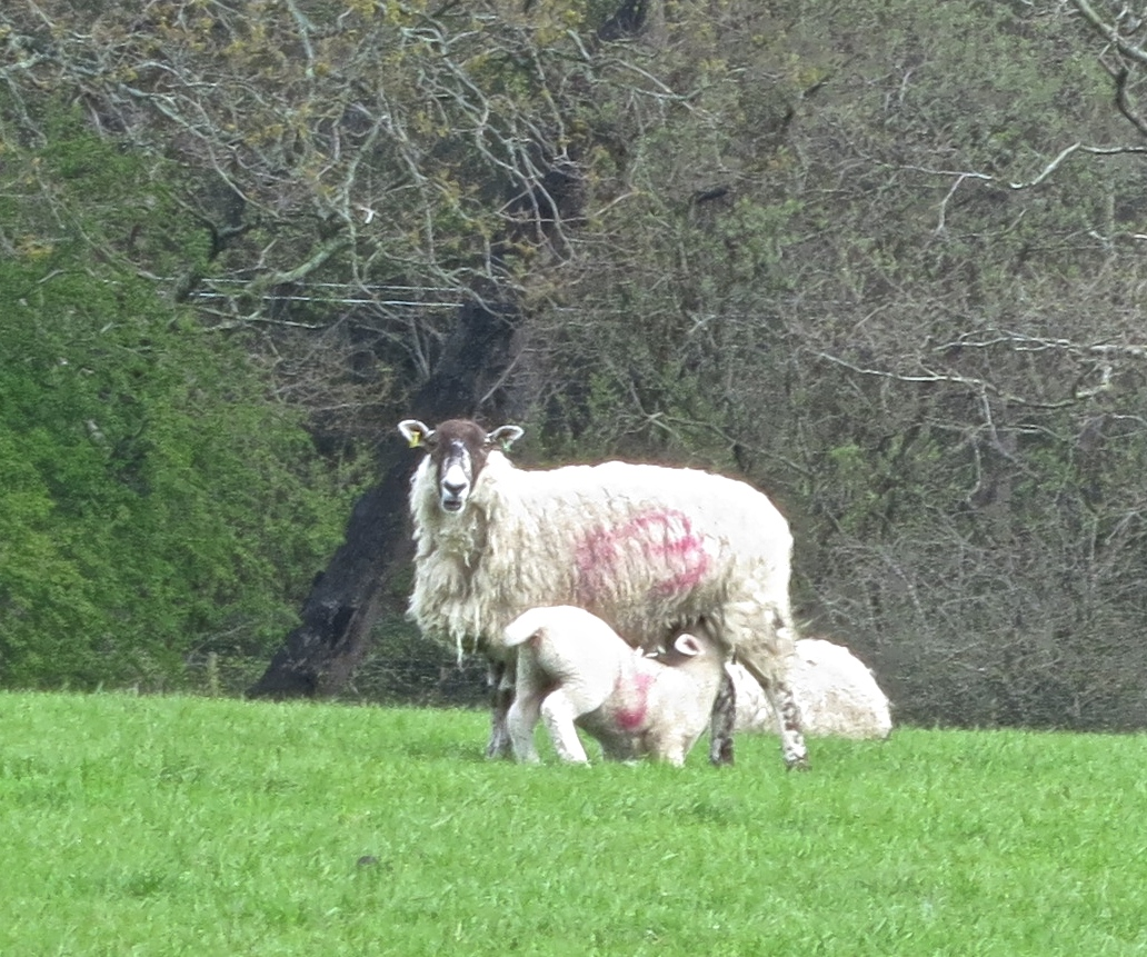 Sheep & suckling lamb
