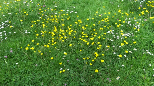 Buttercups, daisies and clover