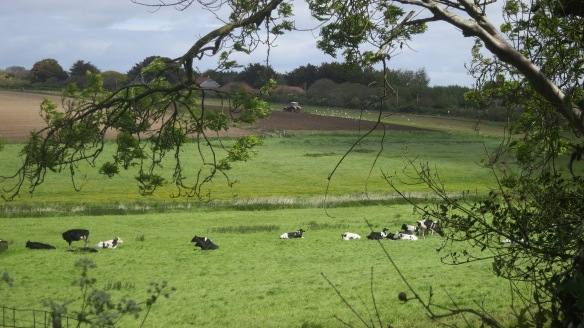 Cattle, tractor ploughing, gulls