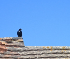 Crow on rooftop