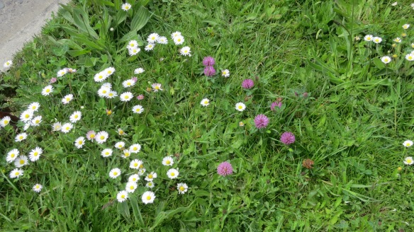 Daisies and clover
