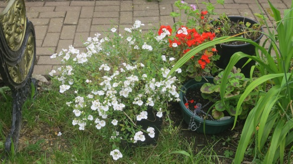 Diasca and gernaniums