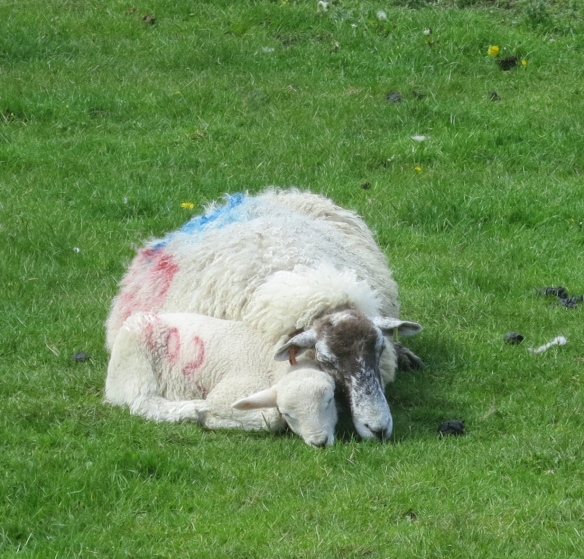 Ewe with new lamb