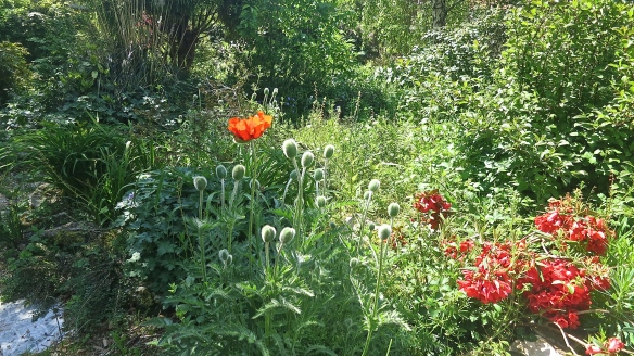 Garden - poppies and rhodendron