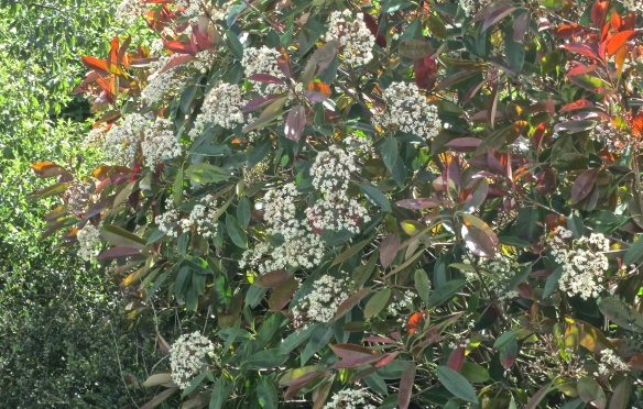 Photinia blooms