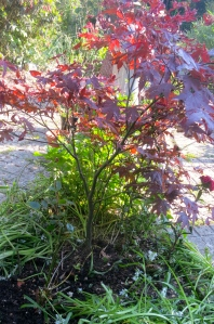 Rose transplanted & maple