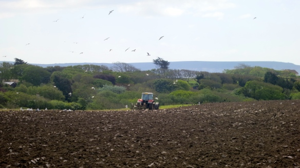 Tractor ploughing, gulls, rooks, Isle of Wight