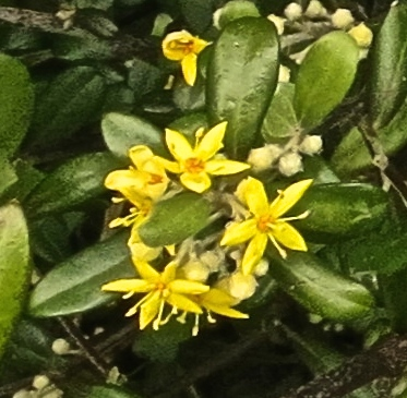 Yellow flowered shrub - Version 2