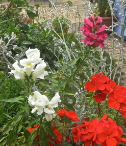 Antirrhinums and pelargonium