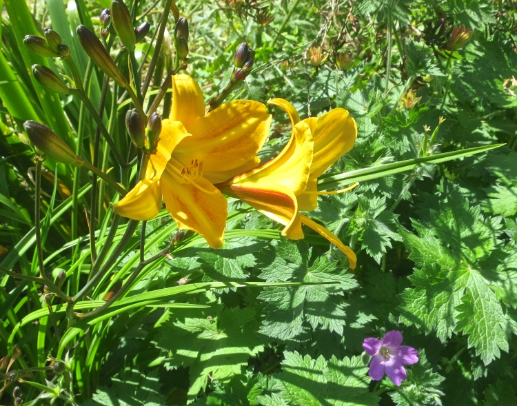 Day lilies and geranium