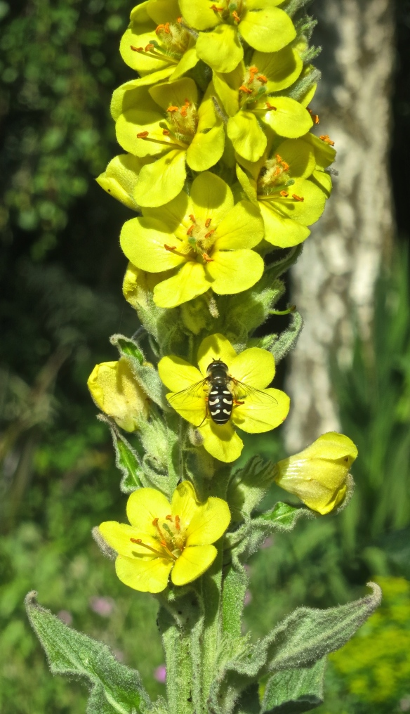 Hoverfly on verbascum