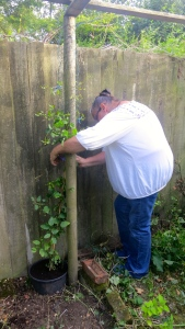 Jackie planting clematis texansis Duchess of Albany