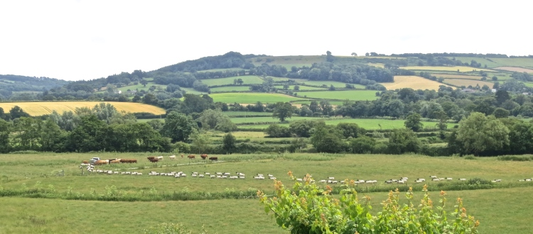 Sheep and cattle 1