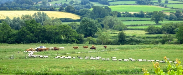Sheep and cattle 2