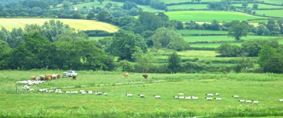 Sheep and cattle 3