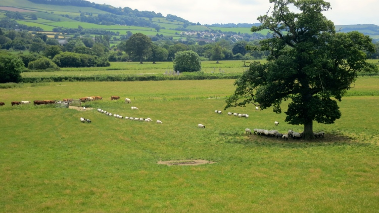 Sheep and cattle 5