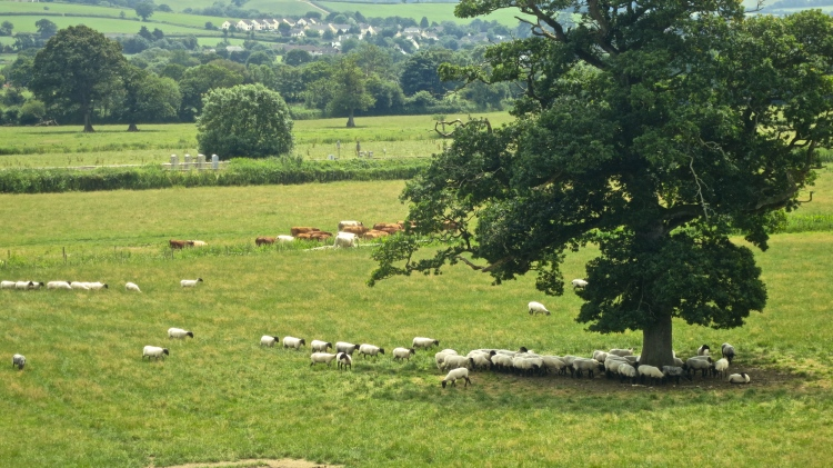 Sheep and cattle 6