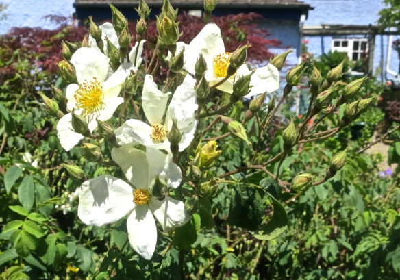 White bush rose