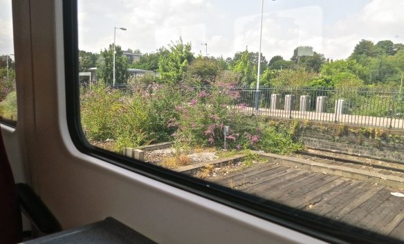 Buddleia from train