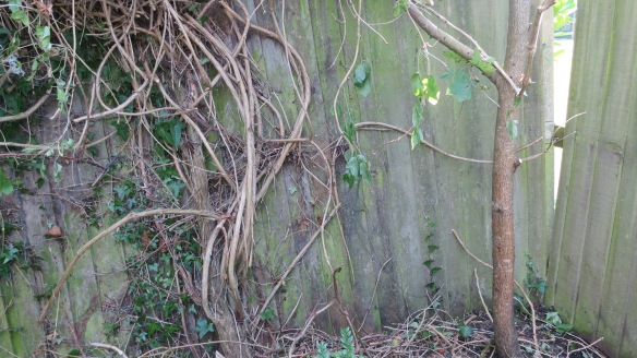 Clematis montana pushing fence over