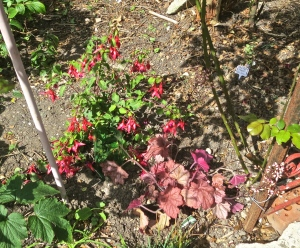 Fuchsia and heuchera