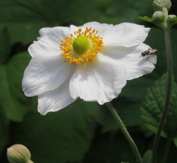Japanese anemone with insect