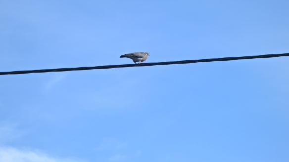 Pigeon on cable