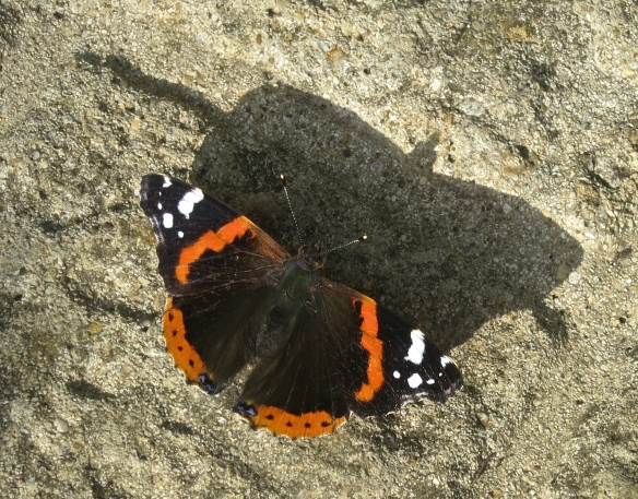 Red Admiral male butterfly