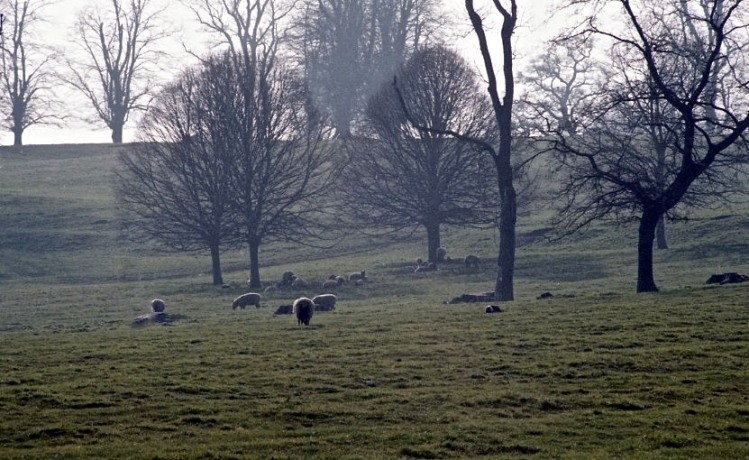 Sheep in misty landscape 1982