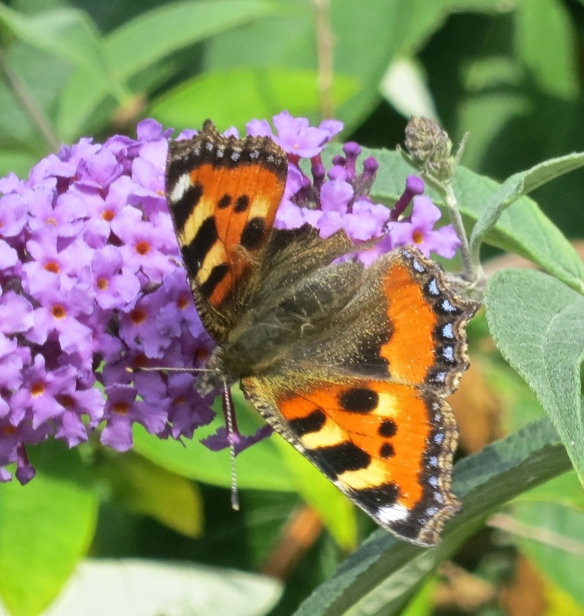 Small tortoiseshell male butterfly
