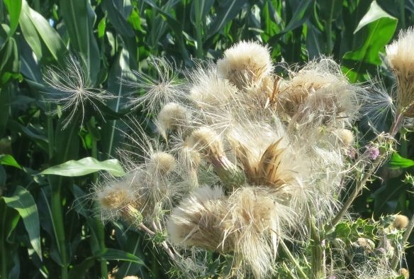 Thistle seeds blowing in wind