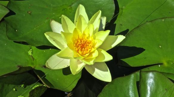 Apple Court Garden water lily