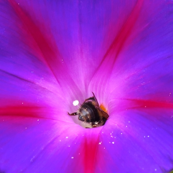 Bee in morning glory