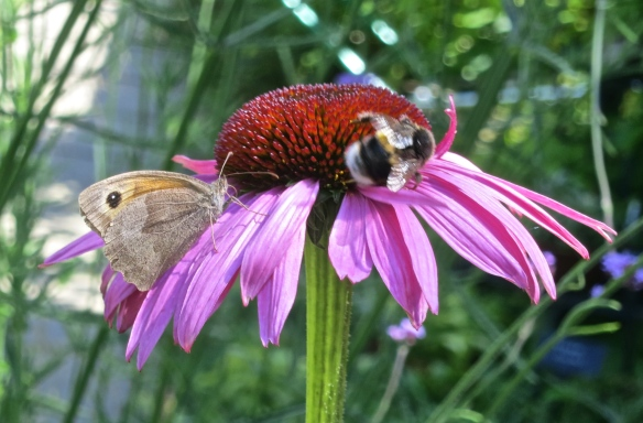Butterfly Meadow Brown and bee on cone flower