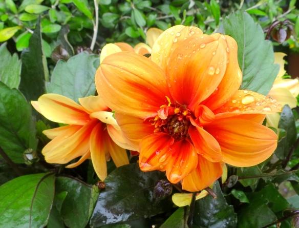 Dahlia peach
